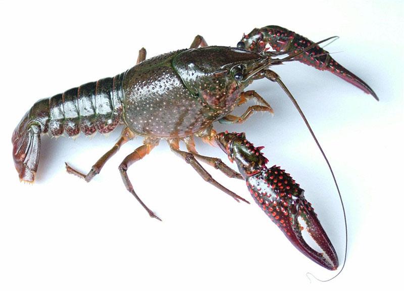 壁纸 动物 甲壳类 昆虫 桌面 800_576